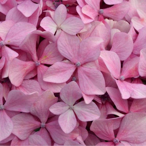 Cvjetni